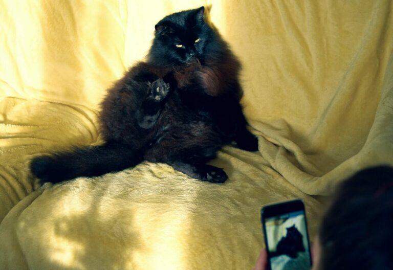 Katze sitzt auf Sofa und wird mit einem Smartphone fotografiert
